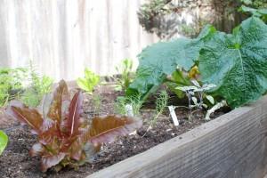 lettuces, agretti, and zucchini